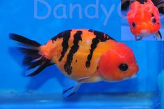 tiger striped ranchu goldfish