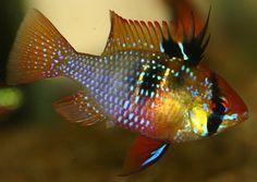 Blue Ram (Mikrogeophagus ramirezi)