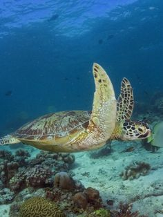 Green Sea Turtle (Chelonia mydas) - range extends throughout tropical and sub-tropical seas around the world, with two distinct populations in the Atlantic and Pacific Oceans, but also in the Indian Ocean. Sea Turtles, Ninja Turtles, Reptiles And Amphibians, Mammals, Life Under The Sea, 500 Days, Terrapin, Water Life, Beautiful Fish