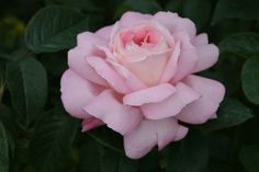 Heirloom Roses Honore de Balzac