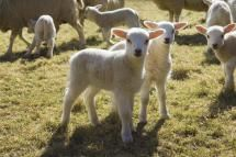 Lambs and sheep in a pen - Mint Images - Henry Arden/Mint Images RF/Getty Images