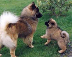 The Eurasier, It is a combination of the best qualities of the Chow Chow, the Wolfspitz, and the Samoyed. Akita Puppies, Cute Puppies, Dogs And Puppies, Chow Chow, Up Dog, Dog Cat, Dog Photos, Dog Pictures, Baby Animals