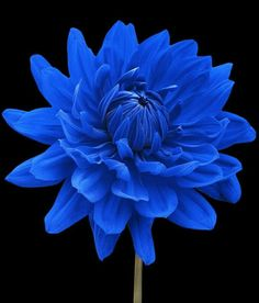 Deep Blue Flower