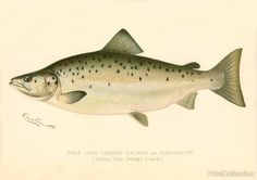Wonderful drawing of aåÊMale Land-Locked Salmon or Quananiche. (Salmo Salar Sebago Girad.)Created by artist S. F. Denton (Sherman Foote) born in 1856 and died in 1937 Well known for his exquisite draw