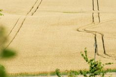 Wheat Has Not Changed | Food and Nutrition Magazine | Stone Soup Blog