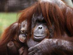 Orang-Utan Mother and Baby, April 1991