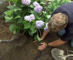 For best results with new hydrangeas, follow our planting guide. | thisoldhouse.com