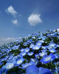 Discovered by crystalrainbow. Find images and videos on We Heart It - the app to get lost in what you love. Blue Flowers, Wild Flowers, Beautiful Flowers, Beautiful World, Beautiful Places, Beautiful Pictures, Hitachi Seaside Park, Nature Pictures, Amazing Nature