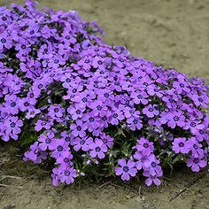 Creeping Phlox are a classic harbinger of spring, exploding with color as a sign that the final days of winter are past. 'Eye Shadow' forms a mound of bright green, needle-like foliage … Flower Garden, Plants, Beautiful Flowers Garden, Shadow Plants, Beautiful Flowers, Creeping Phlox, Perennials, Phlox Flowers, Trees To Plant