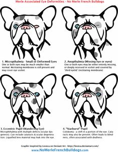 Eye Defects in Merle French Bulldogs   | Visit our new infographic gallery at http://visualoop.com/