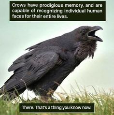 weird animal facts ~ facts weird _ facts weird scary _ facts weird funny _ weird facts mind blown _ random facts weird _ fun facts weird _ weird facts about love _ weird animal facts Crow Facts, Bird Facts, Weird Animal Facts, Interesting Animal Facts, Interesting Stuff, Funny Animals, Cute Animals, Animal Memes, Raven Art