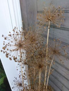 Dried allium