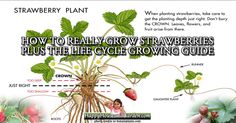 How to Really Grow Strawberries Plus the Life Cycle Growing Guide.  Read this very informative article at HappyHouseandGarden.com now! Click on the image for instant access.
