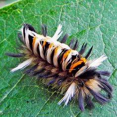 The Milkweed Tussock Moth caterpillar (Euchaetes egle) Im not sure but this little one looks just like the sweet crawler from one of my Fav movies Labyrinth! Weird Insects, Cool Insects, Bugs And Insects, Garden Insects, Beautiful Bugs, Beautiful Butterflies, Beautiful Creatures, Animals Beautiful, Tiger Hair