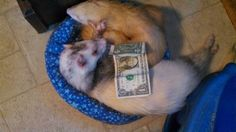 Critter Camp Exotic Pet Sanctuary's #NovemberDollarDrive  Big Al & Hemi are so confident in you ferret folks donating to our Dollar Drive they are snoozing! please donate $1 Right NOW www.paypal.com to donations@crittercamp.biz  PLEASE Share & ask your friends too!!!! #NovemberDollarDrive Critter Camp's Facebook page link: https://www.facebook.com/CritterCamp