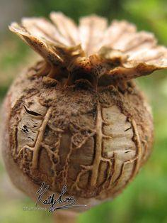 Poppy seed head £15.00