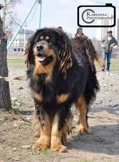 Mongolian Dog Haltar