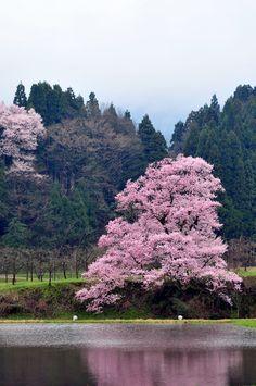 miizukizu : bee//mam (Do not remove credits) Cherry Blossom Japan, Cherry Blossoms, Japan Spring, Japan Travel, Japan Trip, Beautiful Places To Visit, Places To Go, Sunrise, Scenery