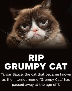 """""""Grumpy Cat has helped millions of people smile around the world — even when times were tough,"""" her owners said. Grumpy Cat Breed, Grumpy Cat Quotes, Funny Grumpy Cat Memes, Funny Cats, Funny Animals, Funny Jokes, Grump Cat, Grumpy Kitty, Cats Humor"""