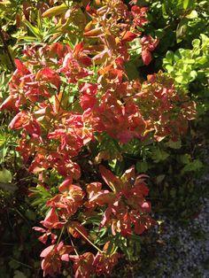 """Vårvortemelken har fått nydelige høstfarger!! The EUPHORBIA cyparissias 'Clarice Howard' in wonderful fall colors <3 Love it!! """"Margeritten"""" by IJ 28.8.14"""