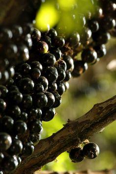 Jabuticaba - I Love this fruit