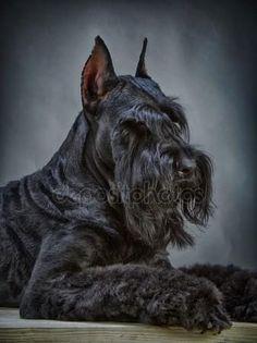 Black Schnauzer, Standard Schnauzer, Miniature Schnauzer Puppies, Giant Schnauzer, Miniature Dogs, Schnauzer Puppy, Akc Dog Breeds, Cat Breeds, Beautiful Dogs