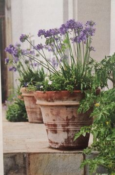 Whether you want to plant for the first time or renovate your garden, consider getting some Agapanthus Peter Pan.There are many cool things about this beautiful flower that will probably entice you. 10 Amazing Facts Of Agapanthus Peter Pan - African Lily Garden Urns, Love Garden, Water Garden, Container Plants, Container Gardening, Agapanthus In Pots, Growing Flowers, Planting Flowers, Outdoor Plants