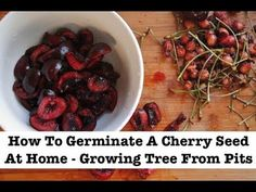 How to Plant Cherry Seeds. Commercial cherries are grown from grafts so the growers know exactly what they're getting. This is because planting cherries from seeds may produce bitter fruit. Planting cherry pits is a project for home. Cherry Tree From Seed, Growing Cherry Trees, Cherry Fruit Tree, Black Cherry Tree, Cherry Plant, Growing Tree, Growing Plants, Planting Cherry Seeds, How To Grow Cherries