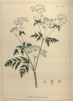 "hemlock: Conium maculatum is known by several common names. As well as the English ""Poison hemlock"" and the Irish ""Devil's Bread"" or ""Devil's Porridge"", there are also Poison Parsley, Spotted Corobane, and Spotted Hemlock. The seeds are sometimes called Kecksies or Kex."