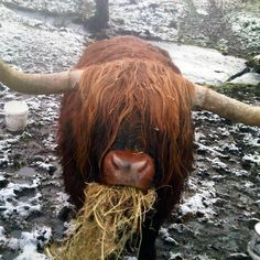 Breakfast time for this Highland cow :-)