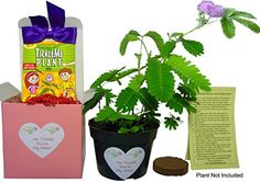 """NEW! Mother's Day TickleMe Plant Gift Box Set - To grow the Plant that closes its leaves when you Tickle it or blow it a Kiss! It even grows Pink Cotton Candy Like Flowers! """"I'm Tickled You're My Mom!"""" - $16.95     www.teelieturner.com"""