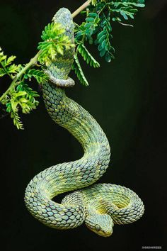 Atheris is a genus of venomous vipers known as bush vipers. They are found only in tropical subsaharan Africa and many species have isolated and fragmented distributions due to their confinement to rain forests