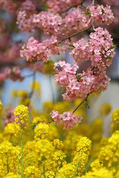"""""""Cherry and rape blossoms,"""" by cate♪, via Flickr -- [Rapeseed is the source of canola oil.]"""