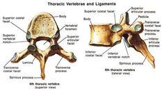 spine bones anatomy thoracic vertebrae - Pesquisa Google