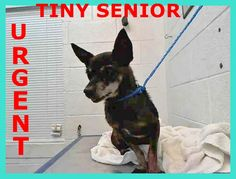 Urgent Dogs of Miami · URSULA (A1669798) I am a black Chihuahua - Smooth Coated. The shelter staff think I am about 10 years old. I was found as a stray and I may be available for adoption on 01/06/2015. https://www.facebook.com/urgentdogsofmiami/photos/pb.191859757515102.-2207520000.1420048423./899716793396058/?type=3&theater
