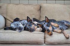 Blue heelers sleeping together; ACD; Australian Cattle Dogs