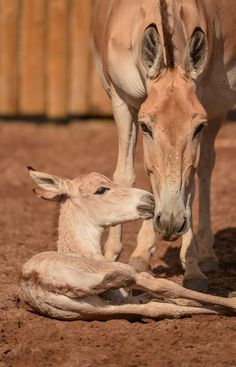 Two rare Onagers were born just hours apart to two different mothers at Chester Zoo on July 4.  Learn more about these endangered equids at ZooBorns.com and at http://www.zooborns.com/zooborns/2015/07/seeing-double-two-onagers-born-in-one-day.html