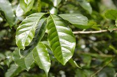 Simple Ways to Stay Healthy: Coffee Leaf Tea