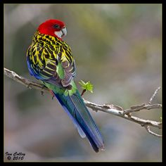 Eastern Rosella | Eastern Rosella - (Platycercus eximius) photo - Ian photos at pbase ...