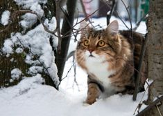 Winter is hear and with it comes a number of cold weather hazards for cats. Learn what dangers the season brings and keep your cat protected. Neko, Animals And Pets, Cute Animals, Chat Maine Coon, Cats Outside, Bobtail Cat, Kinds Of Cats, Curious Cat, Russian Blue