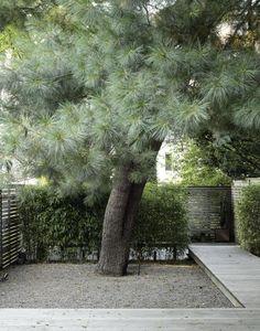 Blue needled eastern white pine tree in Brooklyn garden.