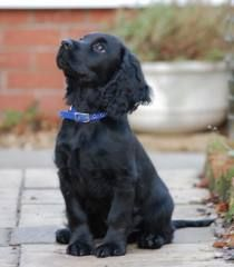 working cocker spaniels ...........click here to find out more http://googydog.com