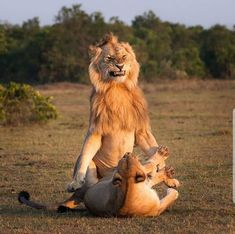 Photo by Lion and lioness mating in Masai mara Kenya. Wildlife Photography, Animal Photography, Travel Photography, Funny Animals, Cute Animals, Lion And Lioness, Lion Love, Photo Animaliere, Male Lion