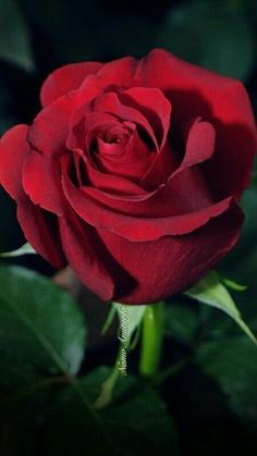 Beautiful Rose Flowers, Romantic Roses, All Flowers, Flowers Nature, Amazing Flowers, Rose Pictures, Flower Photos, Rose Photography, Flower Wallpaper