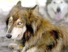 Native American Indian Dog. Blue eyes. Stunning