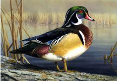 Wood Duck by Robert Hautman