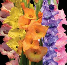 Gladiolus - Give Me A Break, I'm Really Sincere, Flower of the Gladiators
