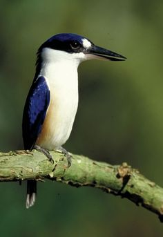 The Forest Kingfisher is essentially a tropical and subtropical kingfisher. Australia.