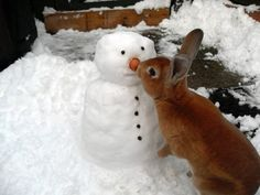 A chubby little snowman had a carrot nose. Along came a rabbit and what do you suppose? The hungry little bunny, looking for his lunch, Ate the snowman's carrot with a nibble, nibble crunch! Like Animals, Cute Baby Animals, Funny Animals, Beautiful Creatures, Animals Beautiful, Animal Pictures, Cute Pictures, Funny Photos, Random Pictures