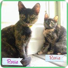 Huntington, NY - Domestic Shorthair. Meet Rosie